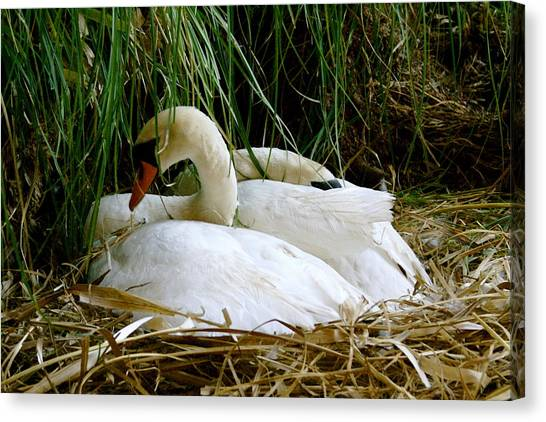 Nesting Swans Canvas Print by Sonja Anderson
