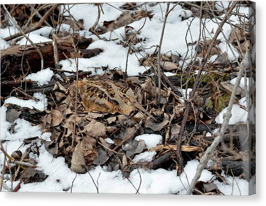 Woodcock Canvas Print - Nesting Woodcock She Survived Her Eggs From The Snow by Asbed Iskedjian