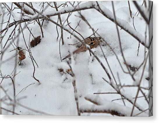 Woodcock Canvas Print - Nesting Woodcock She Will Protect Her Eggs From The Snow by Asbed Iskedjian