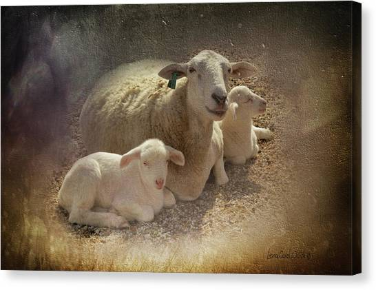 New Baby Lambs Canvas Print