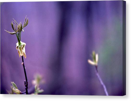 New Buds In Spring Canvas Print by Randy Muir