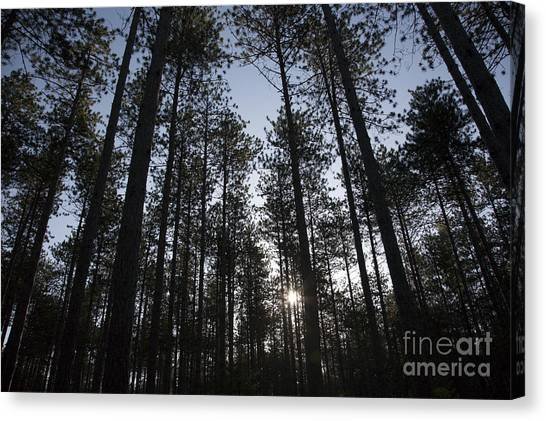 Canvas Print featuring the photograph New England Red Pine Forest by Erin Paul Donovan