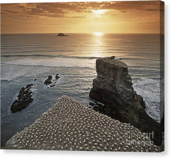 Canvas Print featuring the photograph new zealand gannet colony at muriwai beach ,gannet fly from Muri by Juergen Held