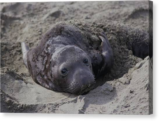 Newborn Northern Elephant Seal Pup Canvas Print