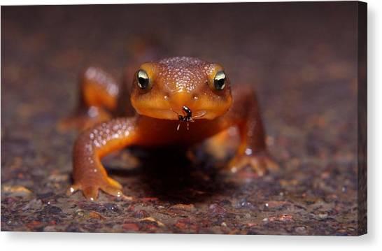 Salamanders Canvas Print - Newt by Jackie Russo