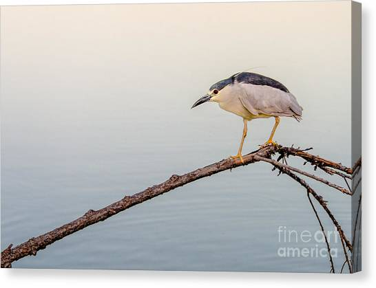 Night Heron Canvas Print by Emily Bristor