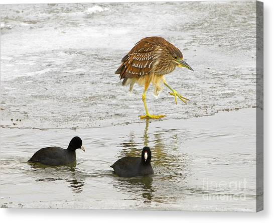 Night Heron With Coots Canvas Print by Dennis Hammer