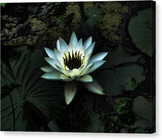 Night Lily Canvas Print by Laurie Prentice