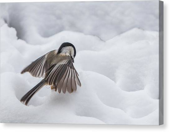 Canvas Print featuring the photograph Chickadee - Wings At Work by Patti Deters