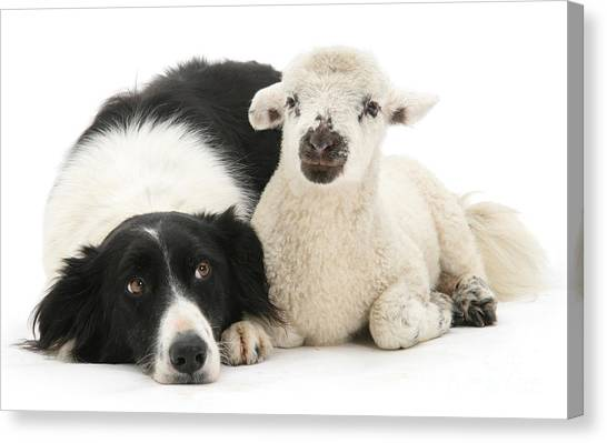 No Sheep Jokes, Please Canvas Print
