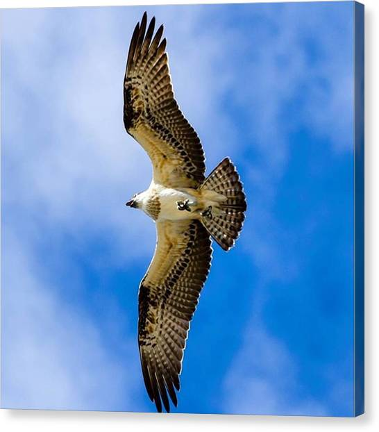 Osprey Canvas Print - No Waves Around Today So Got A Few by Mik Rowlands