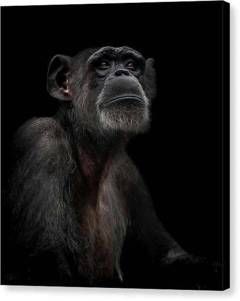 Primates Canvas Print - Noble by Paul Neville