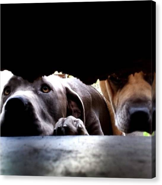 Mastiffs Canvas Print - #nofilter #mastiff #greetings #love by Breeanna Boman