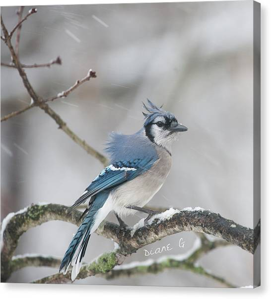 Nor' Easter Blue Jay Canvas Print