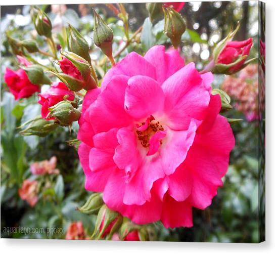 Nora's Knockout Roses Canvas Print