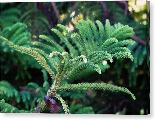 Norfolk Island Pine Frond Canvas Print