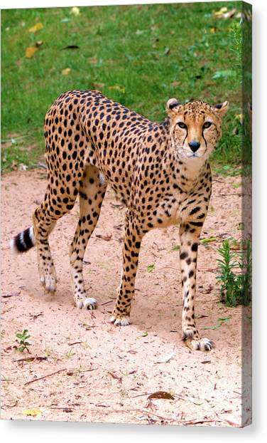North African Cheetah Canvas Print