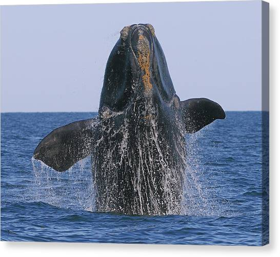 North Atlantic Right Whale Breaching Canvas Print