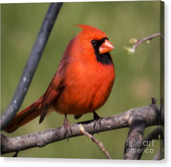 North Cardinal Canvas Print by Ricky L Jones
