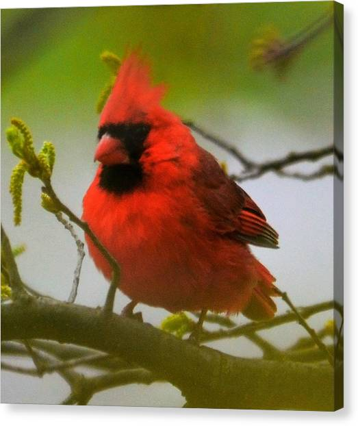 North Carolina Cardinal Canvas Print