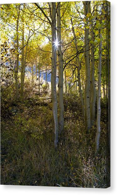 North Lake Aspens Canvas Print
