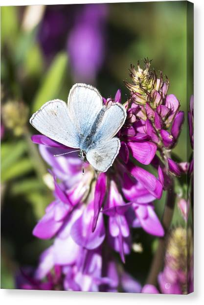 Northern Blue Butterfly Canvas Print