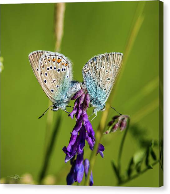 Northern Blue's Mating Canvas Print