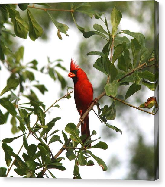 Northern Cardinal - In The Wind Canvas Print