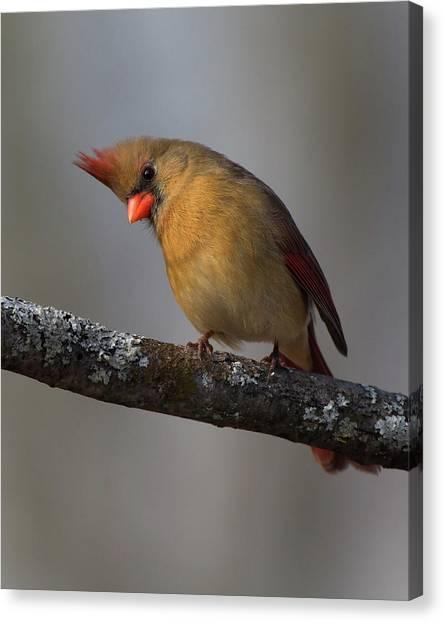 Northern Cardinal 4 Canvas Print
