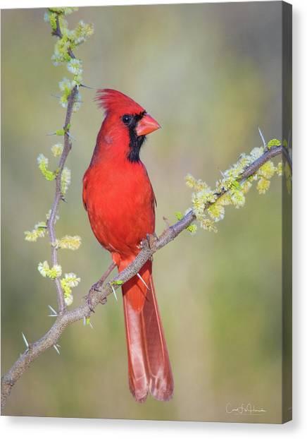 Northern Cardinal Cfh175894 Canvas Print