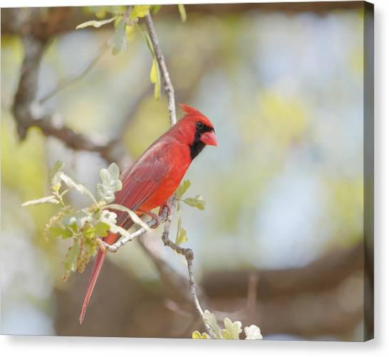 Northern Cardinal Canvas Print