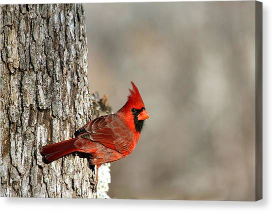 Northern Cardinal On Tree Canvas Print