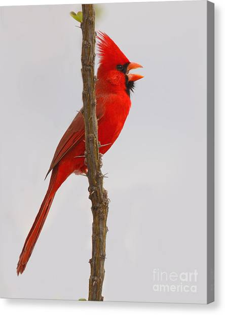 Northern Cardinal Proclaiming Spring Territory Canvas Print