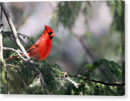 Northern Cardinal Red Canvas Print