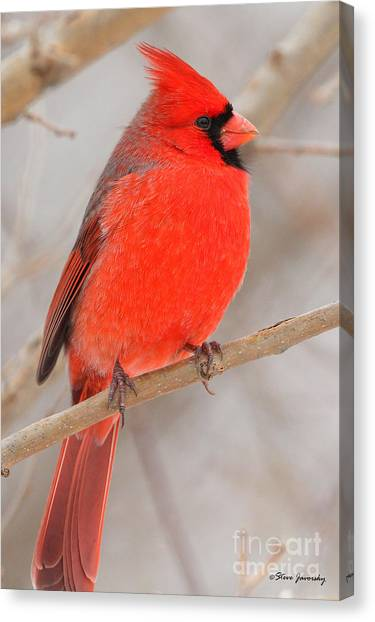 Northern Cardinal Canvas Print