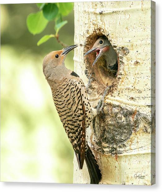 Northern Flicker Feeding Baby Canvas Print