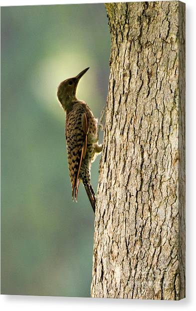 Woodpeckers Canvas Print - Northern Flicker Halo by Mike Dawson