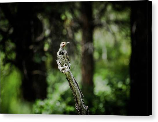 Canvas Print featuring the photograph Northern Flicker by Jason Coward