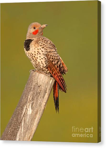 Northern Flicker Looking Back Canvas Print