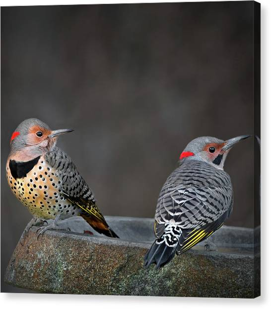 Northern Flicker Canvas Print - Northern Flickers Square by Bill Wakeley