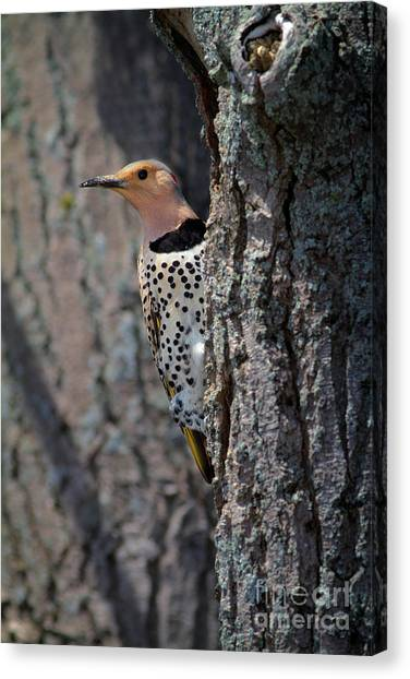Northern Flicker Canvas Print - Northern Flickr by Todd Bielby