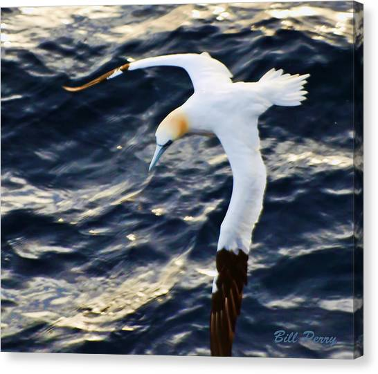Northern Gannet Looking For A Meal Offshore Canvas Print by Bill Perry