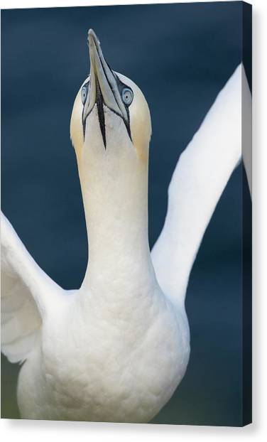 Northern Gannet Stretching Its Wings Canvas Print
