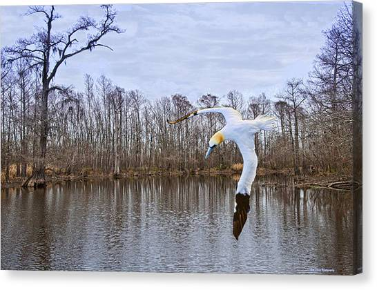 Northern Gannett In The Marsh  Canvas Print by Bill Perry