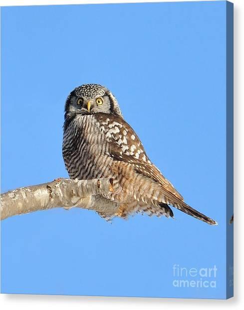 Northern Hawk-owl On Limb Canvas Print