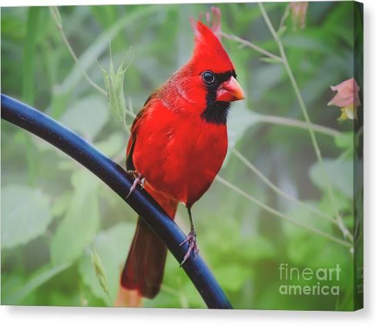 Northern Male Red Cardinal Bird Canvas Print