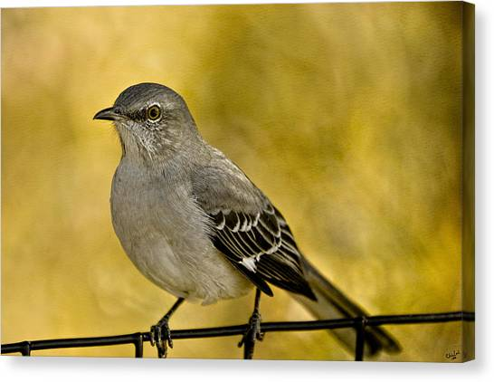 Mockingbirds Canvas Print - Northern Mockingbird by Chris Lord