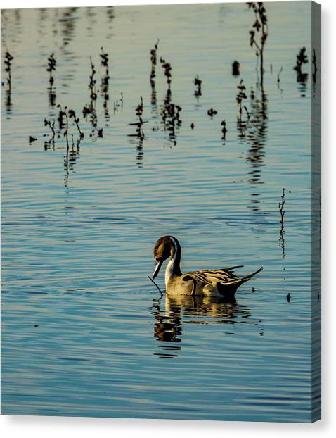 Northern Pintail At The Wetlands Canvas Print