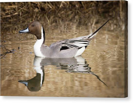 Northern Pintail Drake Canvas Print