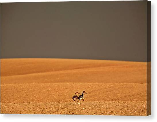Rolling Hills Canvas Print - Northern Pintail Pair Out Walking In Saskatchewan Field by Mark Duffy